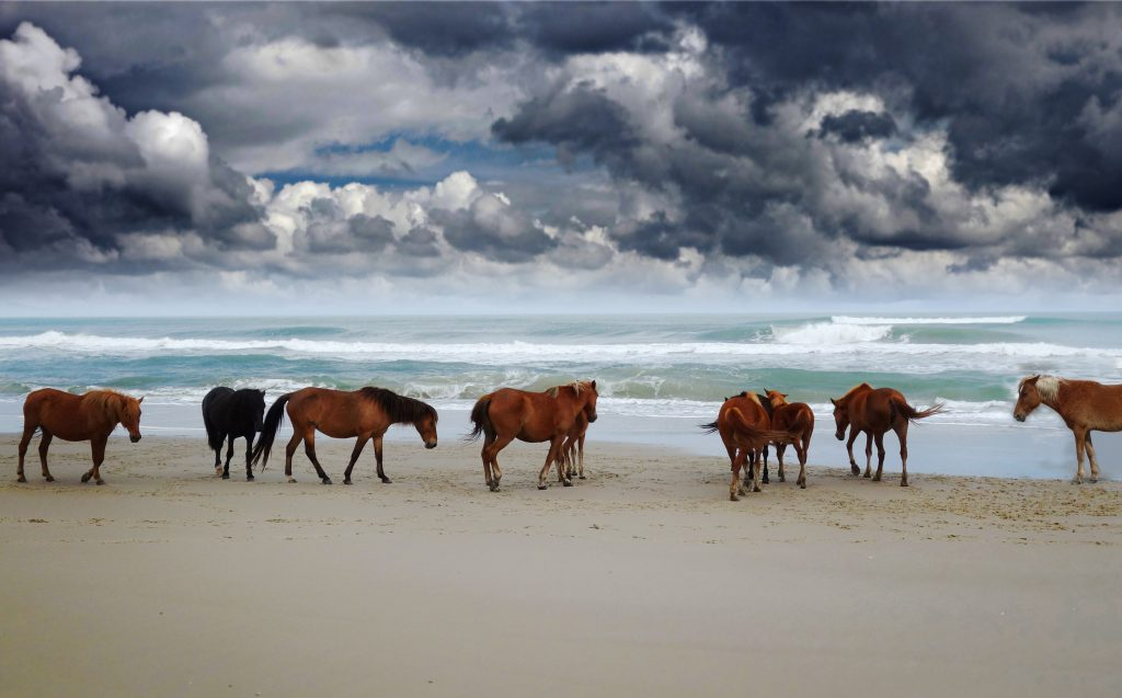 Corolla Wild Horses Archives An Outer Banks Blog All Things Obx