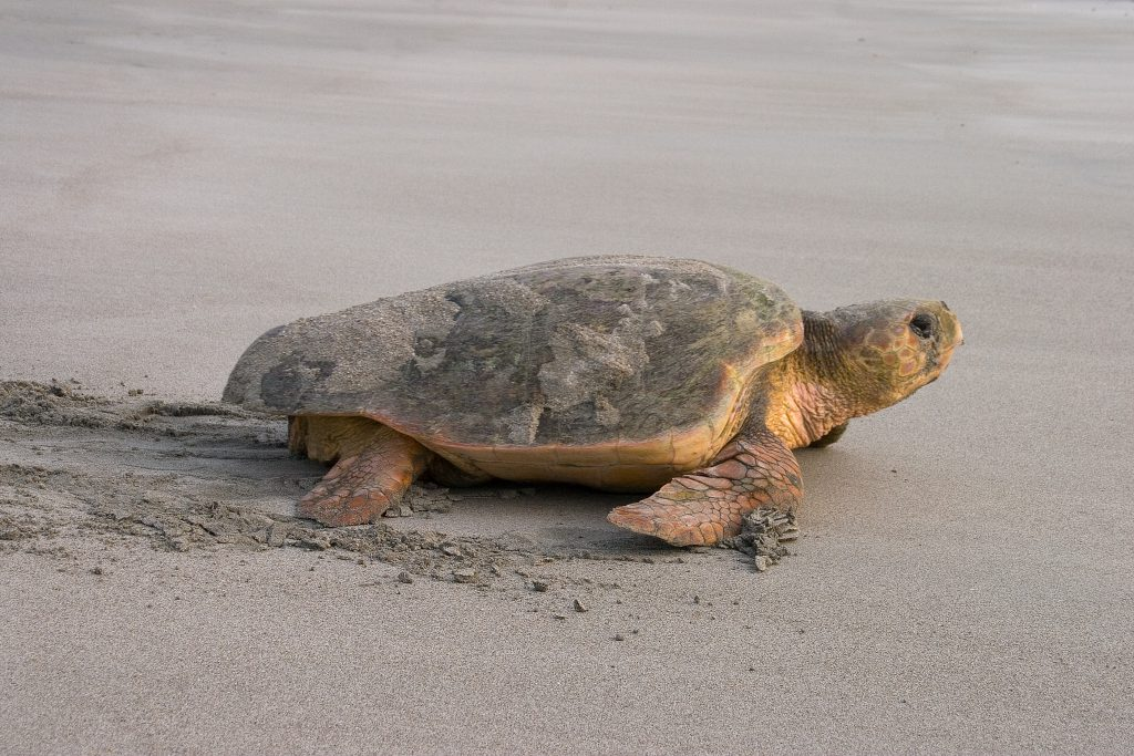 What You Need to Know About Sea Turtle Nesting Season on the Outer Banks